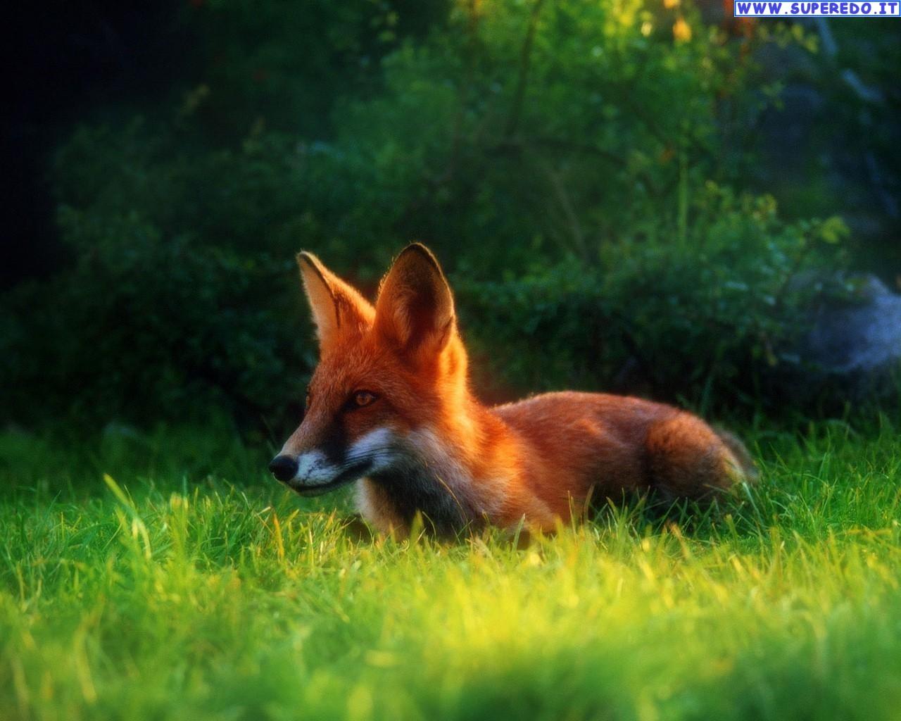 fox-86