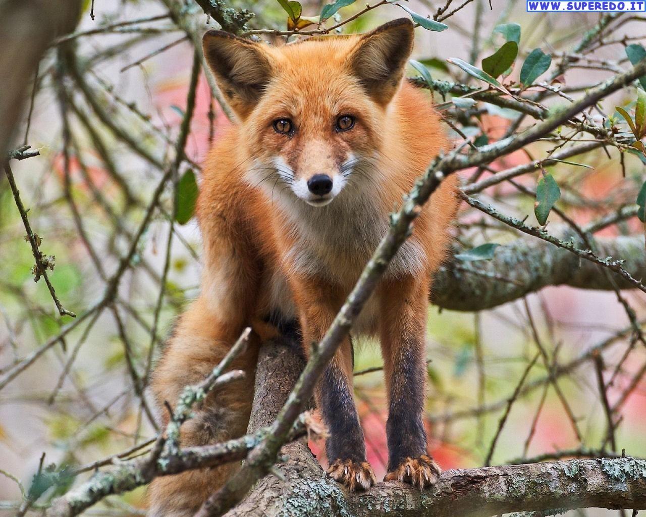 fox-87