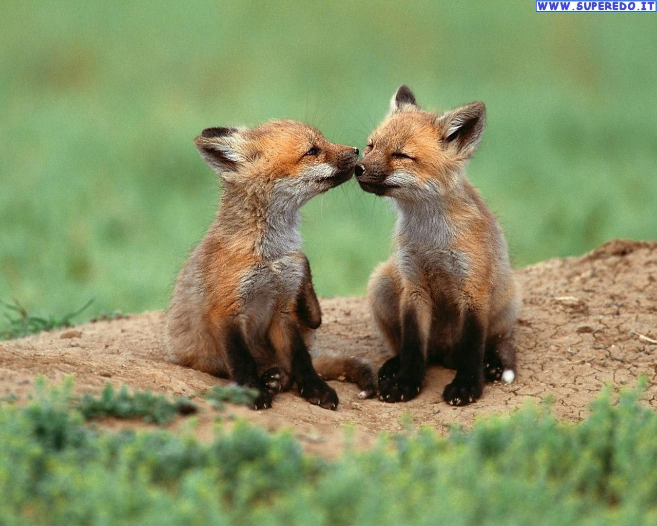 fox-88
