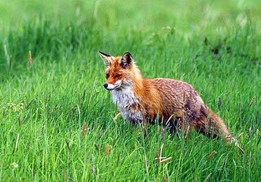 fox-9