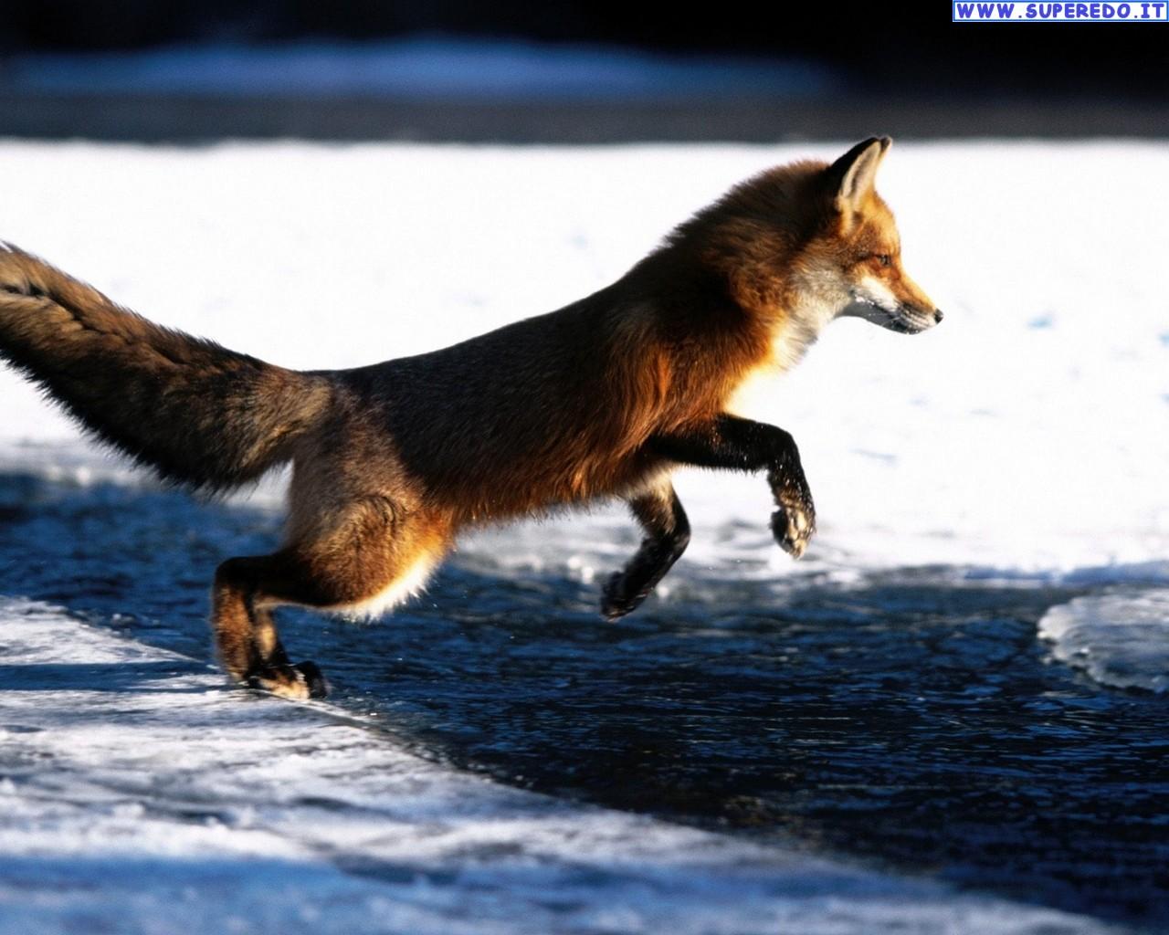 fox-92