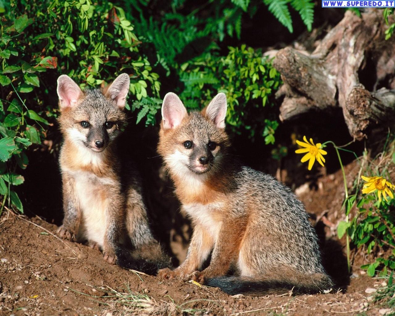 fox-93