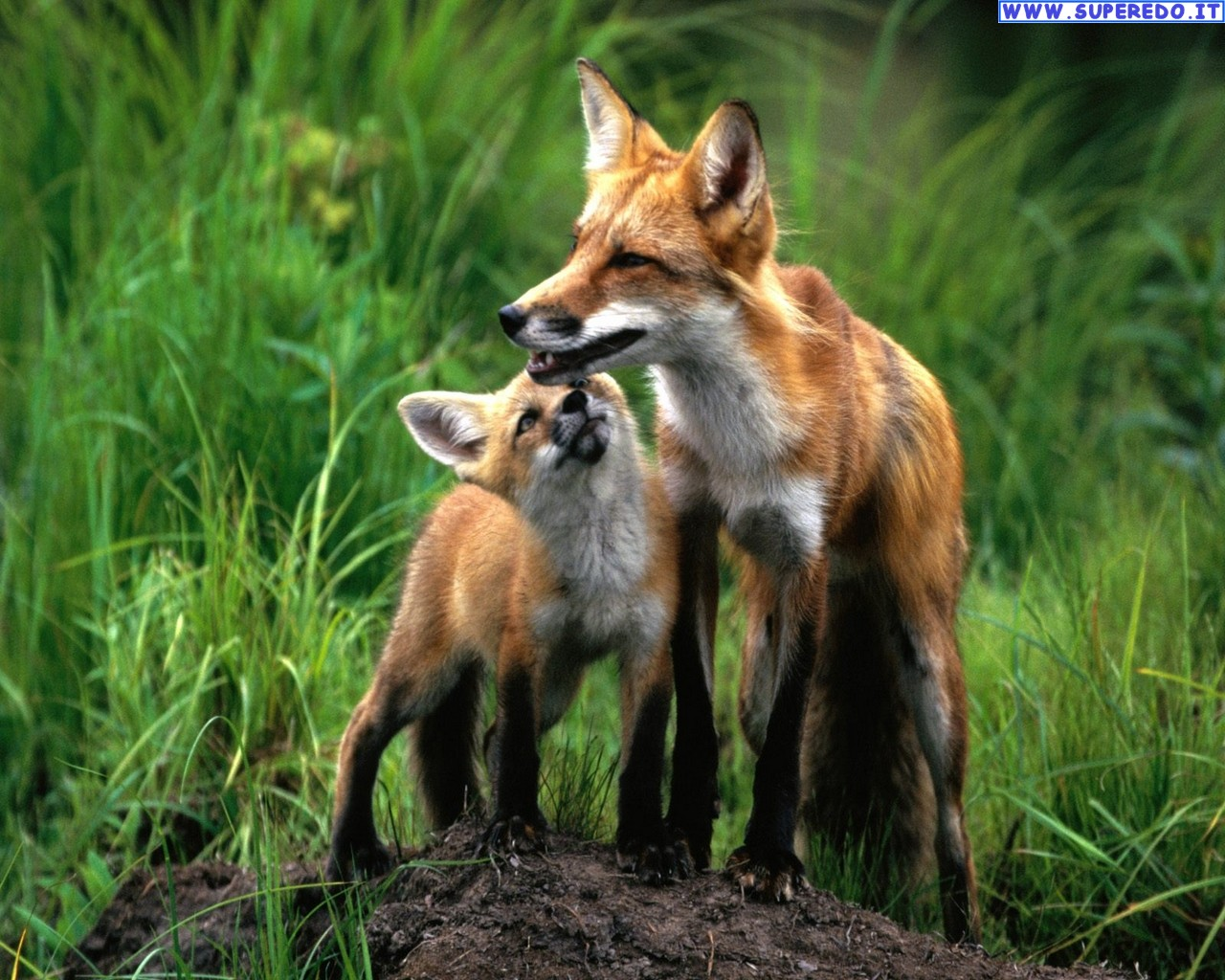 fox-94