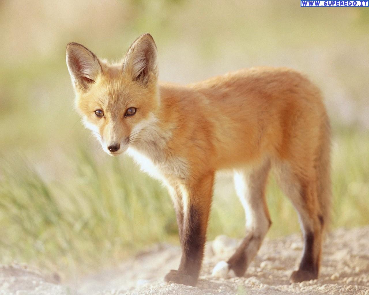 fox-95