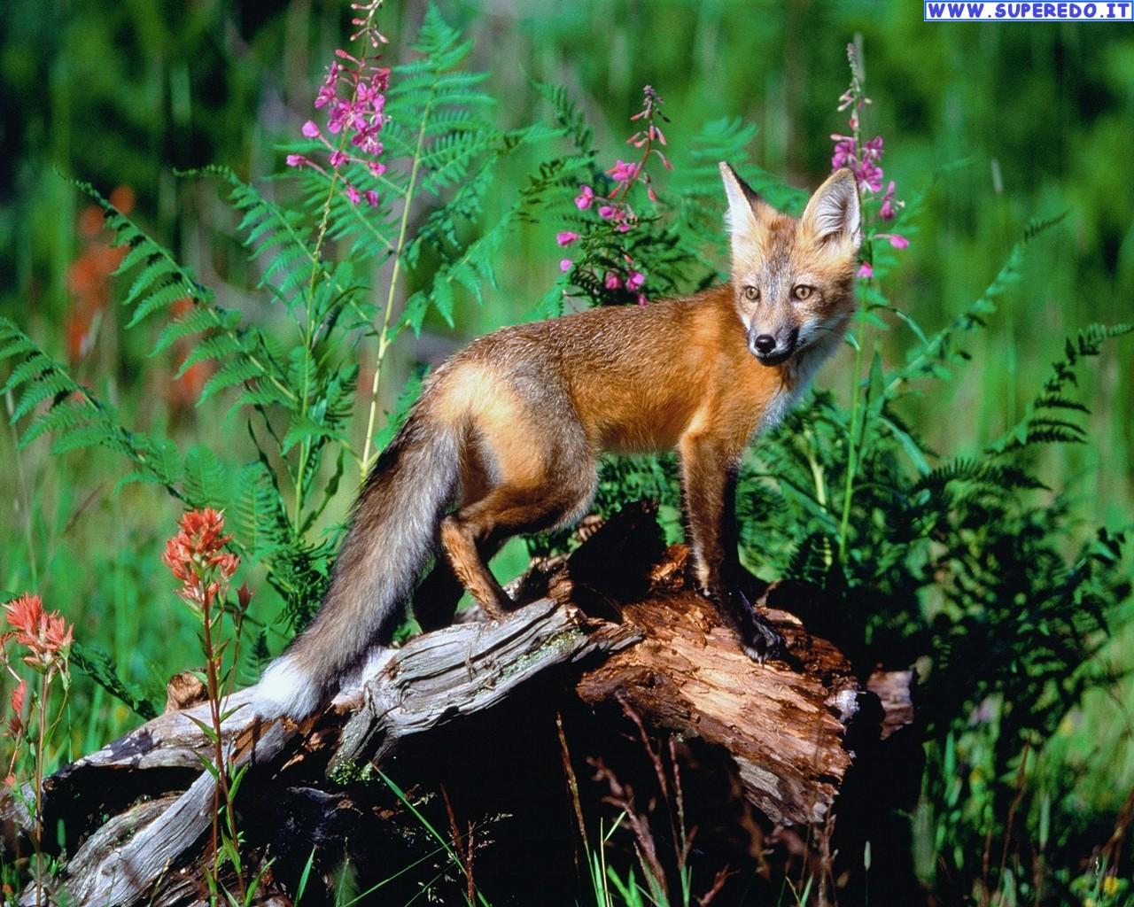 fox-96