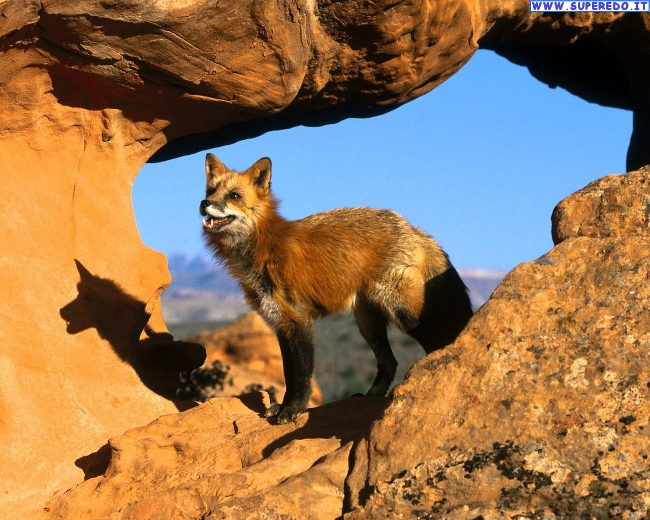 fox-97