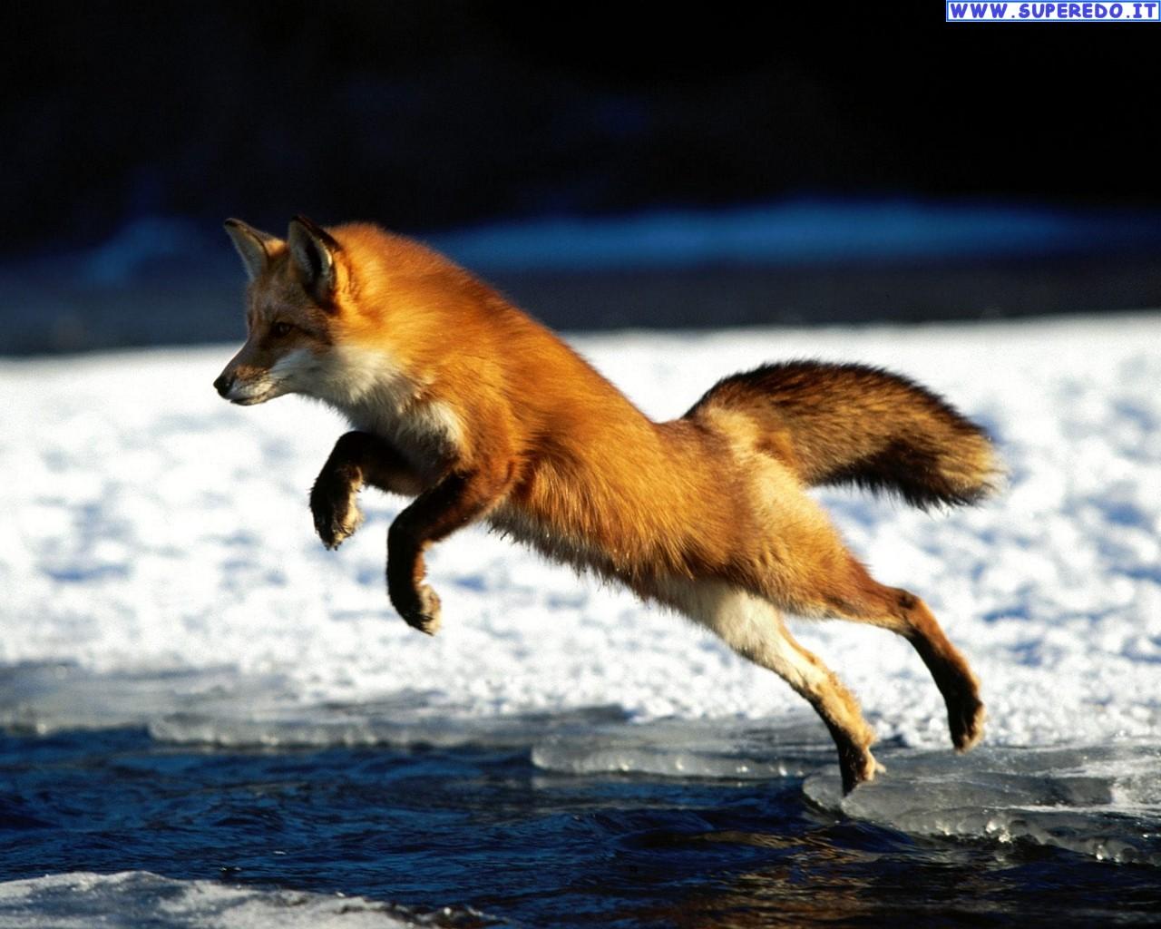fox-98