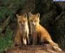 fox-100