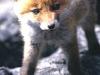 fox-103_0