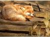 fox-104