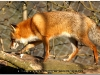 fox-105