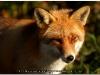 fox-106