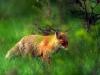 fox-11