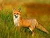 fox-12