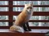 fox-15