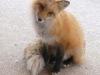 fox-16