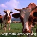 i bovini al pascolo verde