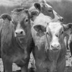 mandria-di-vacche-rosse-con-etichette-sulle-orecchie