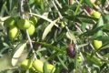 Olive saltarelle.