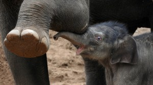 A five-day-old Asian elephant calf (R) h