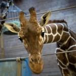 marius-giraffa-zoo-copenhagen-2