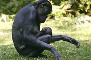 il-linguaggio-dei-gesti-che-ci-unisce-agli-scimpanze-638x425